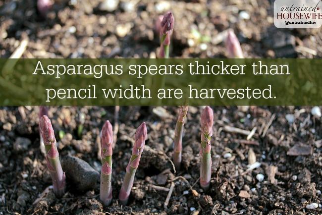 How to harvest asaparagus