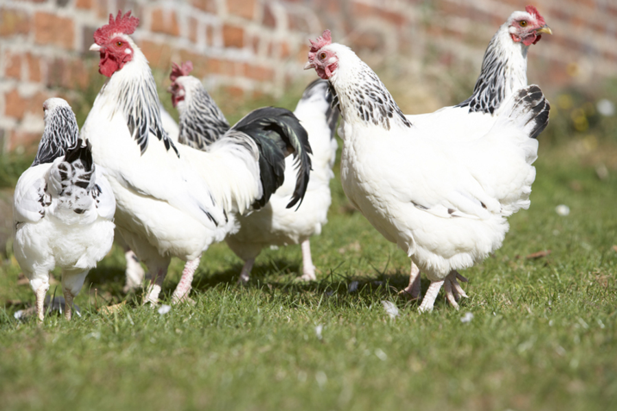 Raising Chickens for Eggs in Your Own Backyard