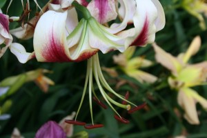 Lilium Vern Beauty