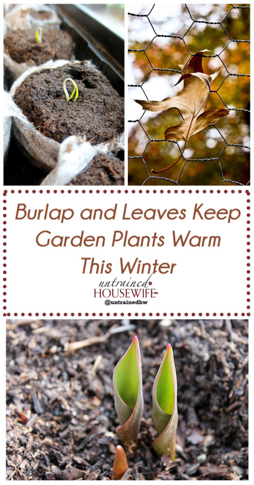 Tuck Them In: Burlap and Leaves Keep Garden Plants Warm This Winter