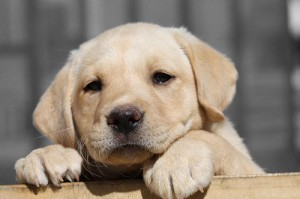 Parvovirus in Dogs and Puppies