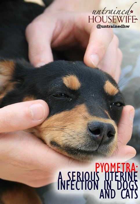 Pyometra: A Serious Uterine Infection in Dogs and Cats