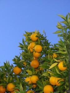 Orange Fruits in a Tree