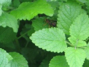Lemon Balm Herb (Melissa Officinalis)