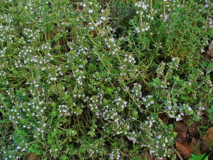 Culinary Herbs as Home Remedies: Thyme