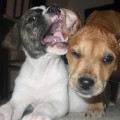 Early Socialization for Puppies