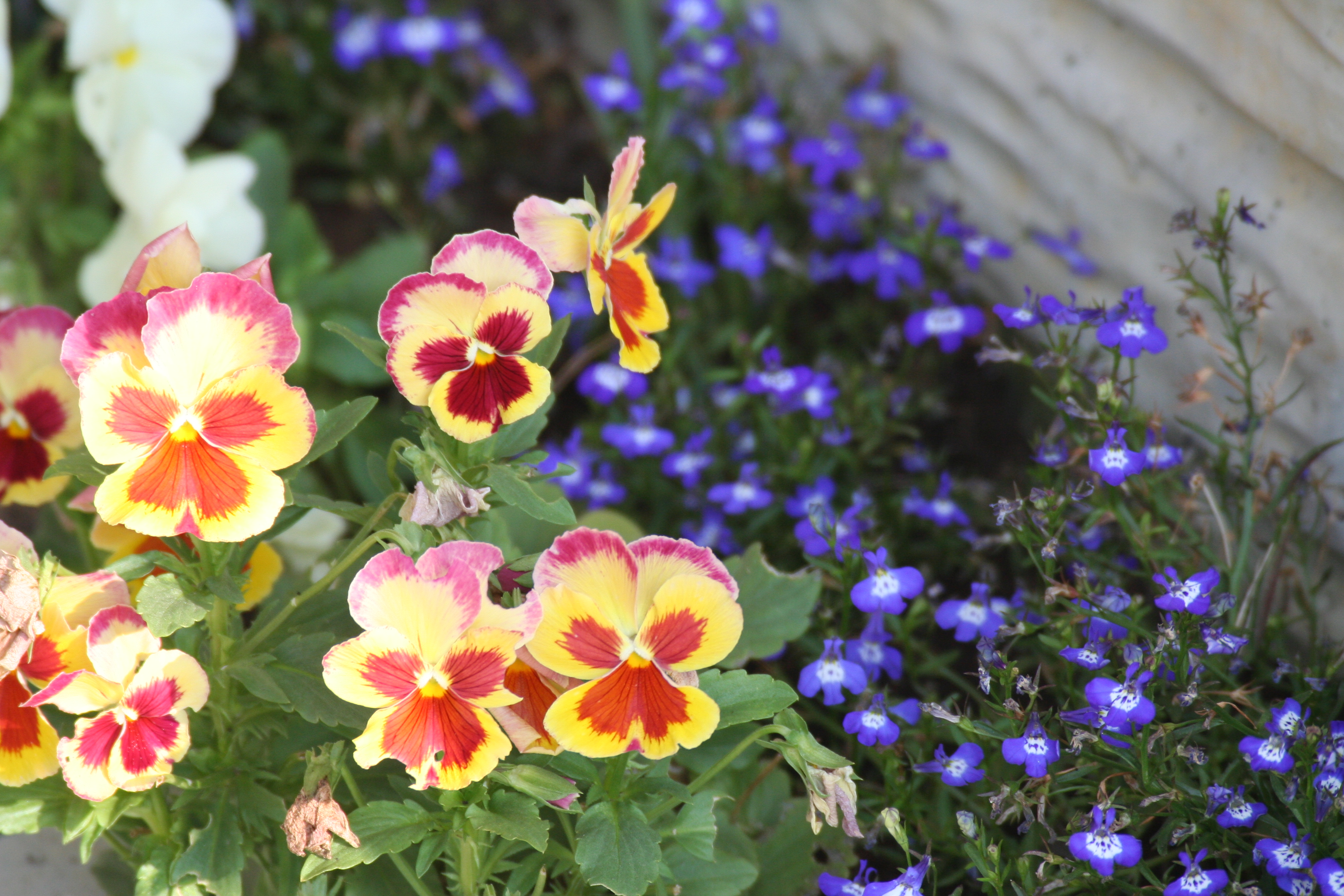 Flowers For Hanging Baskets That Attract Hummingbirds : Perennial and annual lobelia attract butterflies