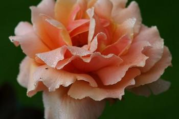 Adding Fragrance to the Garden or Landscape