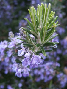 growing rosemary at the Untrained Houswife