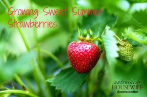 Growing Sweet Summer Strawberries