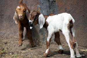 Baby Goats in the Backyard