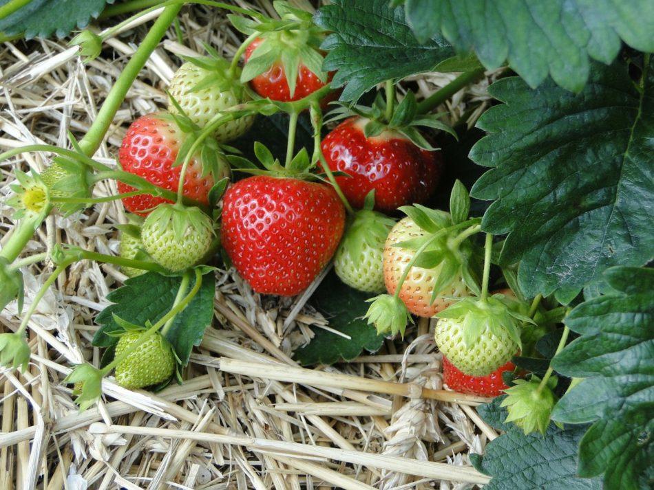 Growing Sweet Summer Strawberries