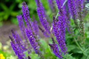 perennial plants at the untrained housewife
