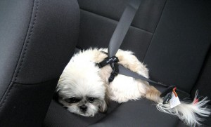 Dog Traveling with Seatbelt