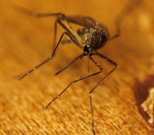 West Nile Virus – How to Protect Your Family and Your Pets