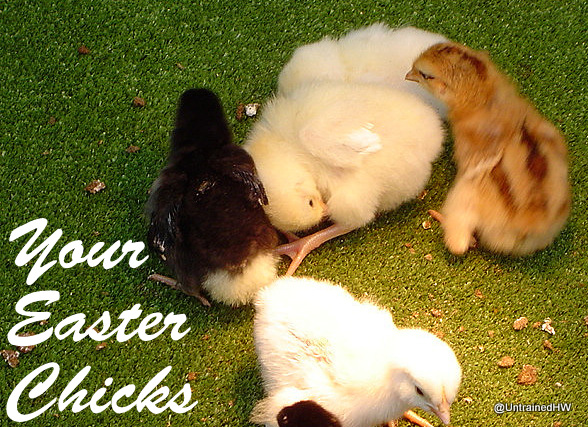 Your Easter Basket chicks a year later (aka why I get preachy about this habit)