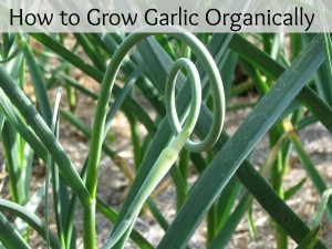 How to Grow Garlic Organically – Plus Giveaway!