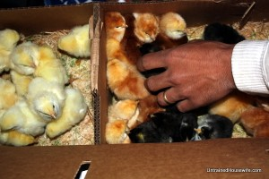 Getting Hoovers Hatchery Mail-Order Chicks for Eggs & Meat