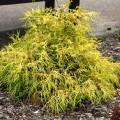 Lemon Thread Falsecypress for Yellow Evergreen Plants
