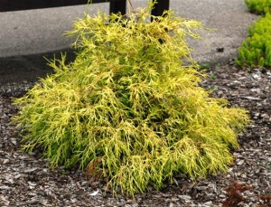 Two Unusual Chartreuse Evergreen Trees or Shrubs