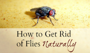 How to Get Rid of Flies Naturally