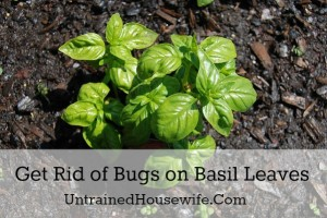 Get Rid of Bugs on Basil Leaves