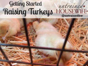 Getting Started Raising Turkeys