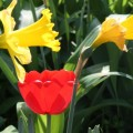 Tulips with Daffies - Great color combination