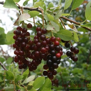 Using Chokecherry Shrub