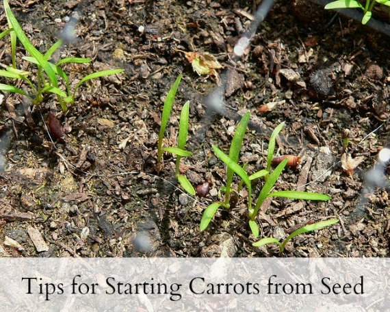 Tips for Starting Carrots from Seed