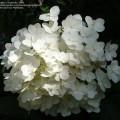 White tree hydrangeas for shade flowers