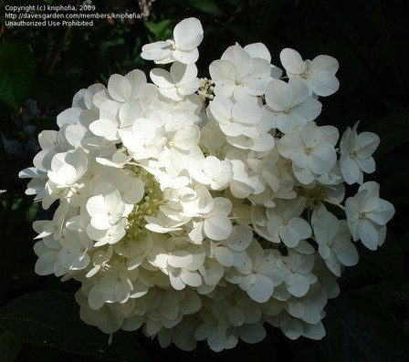 White hydrangeas flowers from tree hydrangea shrubs white tree hydrangeas for shade flowers mightylinksfo