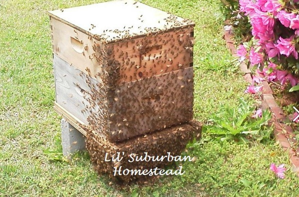Backyard Beehive - Starting Your First Beehive