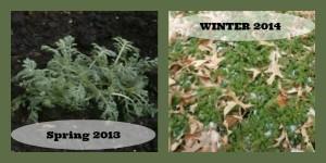 Season effects on chamomile