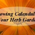 Growing Calendula in Your Herb Garden | Untrained Housewife