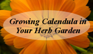 Growing Calendula in Your Herb Garden