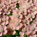 Yarrow Blossoms in an herb garden