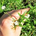 chickweed-for-pinkeye