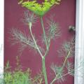 Dill flower stalk