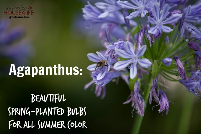 Agapanthus beautiful spring planted bulbs give all summer color