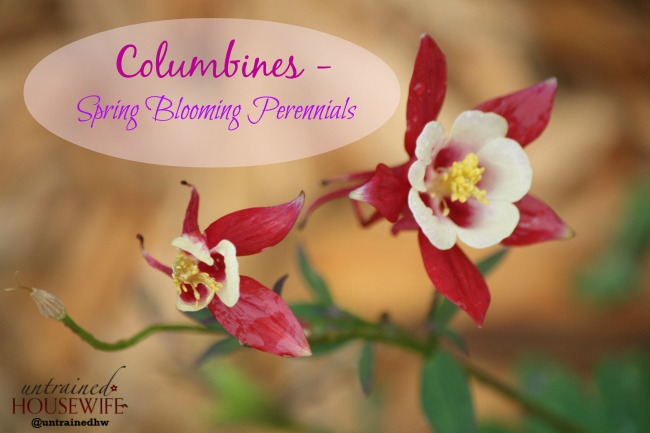 Columbines are one of several amazing spring blooming perennials