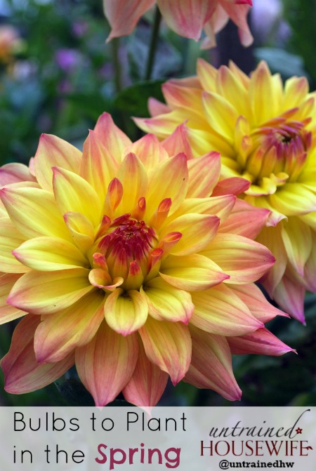 Dahlias are one of several frost-sensitive bulbs to plant in the Spring