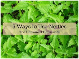 Edible weeds: Stinging nettle (Urtica dioica)