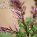 Fragrant flowering shrubs like this Bloomerang Lilac are garden must-haves