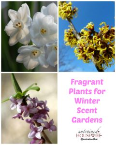 Fragrant Plants for Winter Scent Gardens