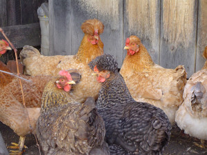 HOW TO MAKE MONEY RAISING CHICKENS AT HOME