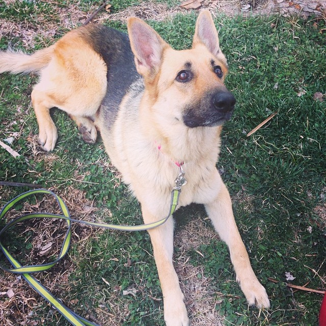 Sabor - Our German Shepherd Dog rescue dog