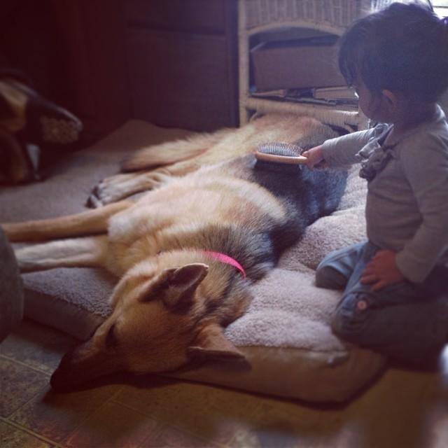 Sabor - Our rescued German Shepherd Dog